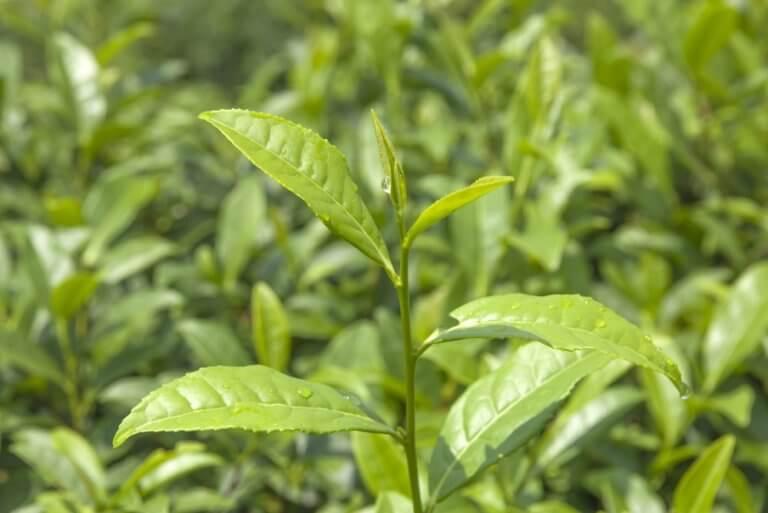 התפתחות הצמח על פי חוקי פבנאצי